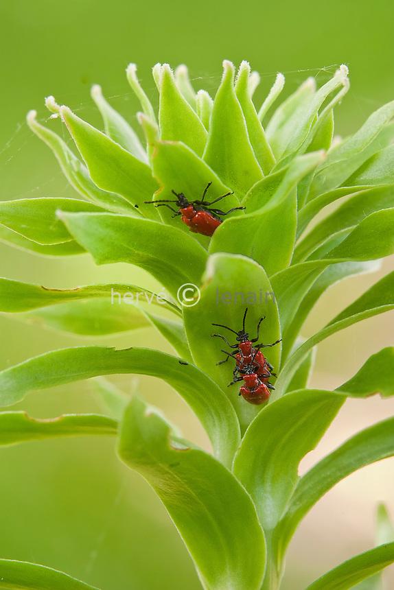 Criocères du lis (Lilioceris lilii) (adultes accouplés) sur lis de la Madone (Lilium candidum) // lily beetle  (Lilioceris lilii) ( coupled adults) on Madonna Lily (Lilium candidum)