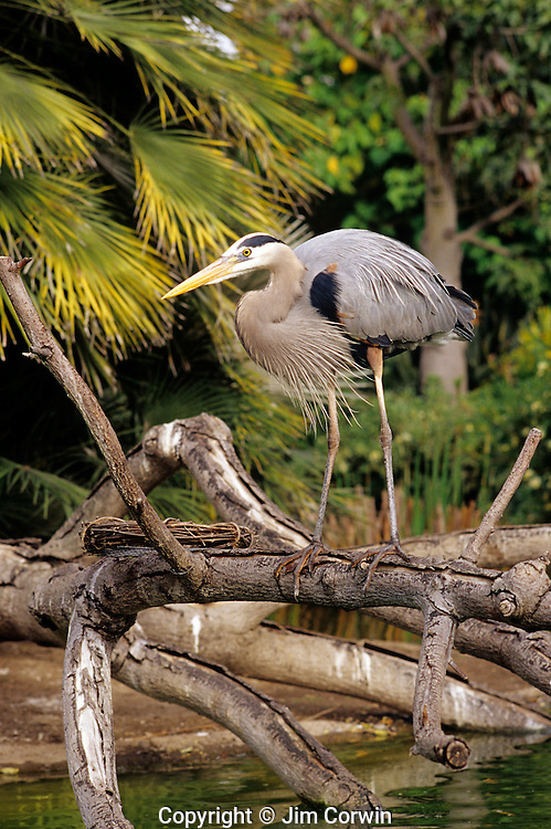Blue Heron on a tree limb at the San Diego zoo San Diego California USA