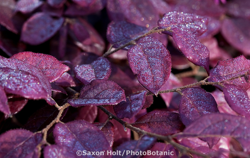 Morning dew on Loropetalum chinense v. Rubrum ' Burgundy', purple leaf drought tolerant shrub in San Francisco Botanical Garden