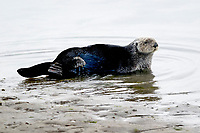 Southern sea otter or California sea otter, Enhydra lutris nereis, hauling out onto beach, Monterey Bay National Marine Sanctuary, Monterey, California, USA, Pacific Ocean