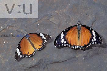 A South African example of Mimicry: African Monarch (Danaus chrysippus) on the left and the Monarch Mimic (Hypolimnas missipus) on the right.
