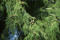 Western Himalayan (Bhutan) Cypress Cupressus torulosa (Cupressaceae) HEIGHT to 27m <br /> Ovoid crown recalls C. glabra but tree has more open habit. Slender green shoots smell of new-mown grass when crushed. BARK Spirally ridged in older trees. BRANCHES Raised, with descending sprays of looser foliage. LEAVES Tiny, scale-like and unmarked, with minute, incurved points. REPRODUCTIVE PARTS Cones are less than 15mm across, each scale with a rounded knob. STATUS AND DISTRIBUTION Native to W Himalayas, grown in a few old, British gardens. COMMENTS Slow-growing.