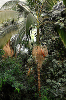 Tropical Rainforest Glasshouse (formerly Le Jardin d'Hiver or Winter Gardens), 1936, René Berger, Jardin des Plantes, Museum National d'Histoire Naturelle, Paris, France. Detail of a Howea Forsteriana palm tree overlooking the Tropical foliage seen from the third floor of the cave.