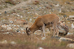 Argali (Ovis ammon) sub-adult female grazing, Sarychat-Ertash Strict Nature Reserve, Tien Shan Mountains, eastern Kyrgyzstan