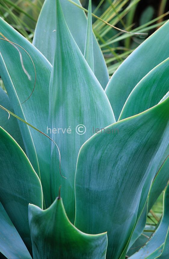 06/ Jardin botanique &quot;Les Cèdres&quot;<br /> Dans le &quot;jardin mexicain&quot; :Agave attenuata