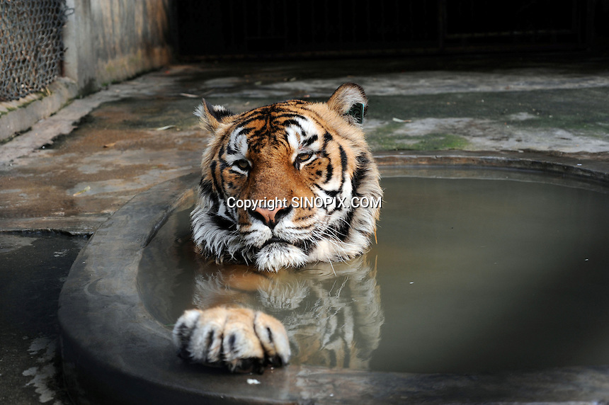 Tigers # 100 that has a paralysed neck in a cage at the Xiongshen Tiger and Bear Park in Guilin China. The park has farmed 1500 tigers and sells an illegal tiger bone wine to tourists that visit the park.