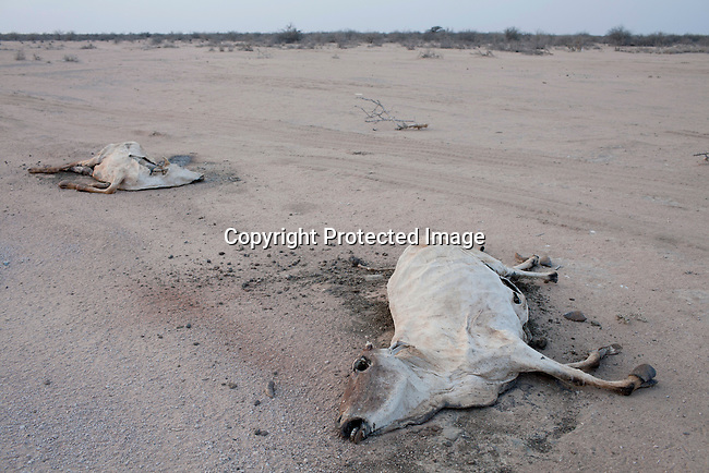 DILMANYALE, KENYA - JULY 4: Carcasses lie in a barren area on July 4, 2011 in Dilmanyale, Kenya. Two successive poor rains, entrenched poverty and lack of investment in affected areas have pushed millions of people into a fight for survival in the Horn of Africa. This is the driest this area has been since sixty years. People in smaller town are usually fortunate to have water. In rural areas, most wells has dried up and some people was as much as eight kilometers to fetch water. Most of the livestock has perished and the remaining stock has often been taken far away for better conditions. Many has even crossed into neighboring Somalia for better pasture. (Photo by Per-Anders Pettersson)