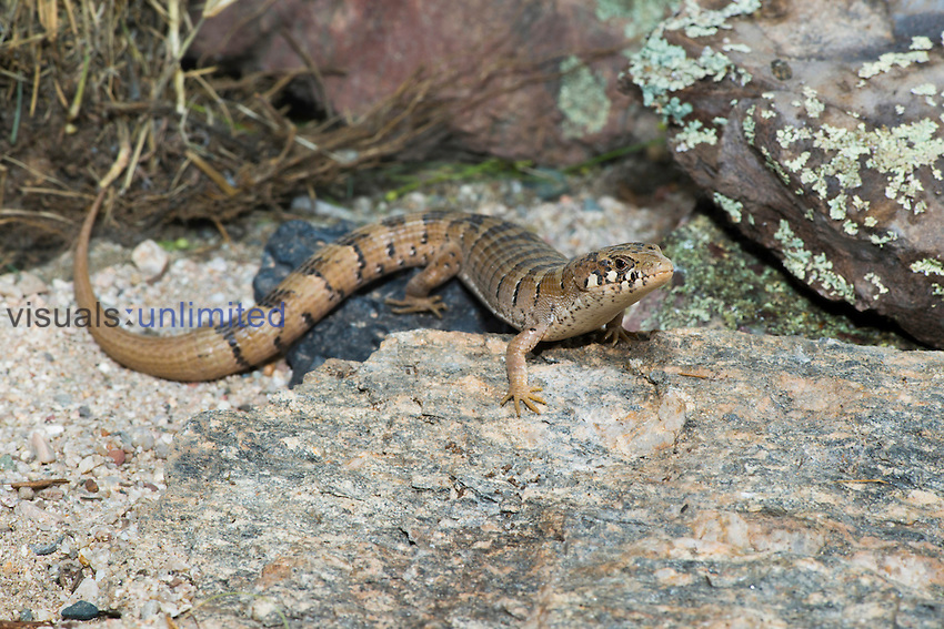 Madrean Alligator Lizard (Elgaria kingii nobilis), Huachuca Mountains, Arizona, USA