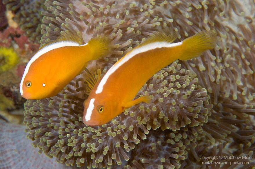 Anilao, Philippines; a pair of Orange Anemonefish (Amphiprion sandaracinos) in a Merten's Anemone