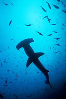 silhouette of scalloped hammerhead shark, Sphyrna lewini, Galapagos Islands, Ecuador, Pacific Ocean