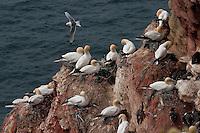 Basstölpel, Baßtölpel, Kolonie brütend auf den Nestern, Vogelfelsen Helgoland, Tölpel, Sula bassana, Morus bassanus, northern gannet