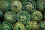 Fresh picked artichokes from Castroville, the Artichoke center of the world, and a small town in Monterey County, California