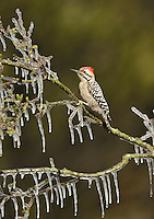 Ladder-backed Woodpecker (Picoides scalaris), adult perched on icy branch, Hill Country, Texas, USA