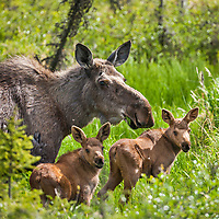 Cow moose and twin calves feed on grasses on spring grasses, arctic, Alaska.