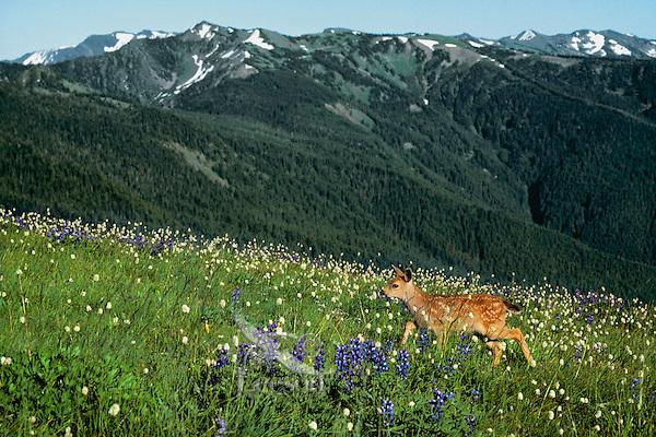Black-tailed deer fawn (Odocoileus hemionus) in subalpine meadow, Pacific Northwest, summer.