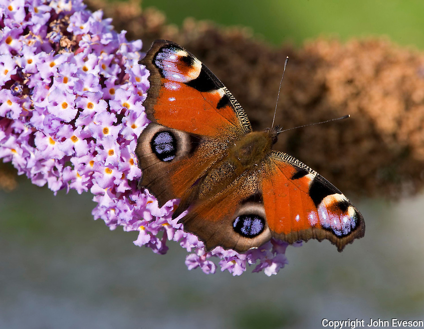 Peacock butterfly (Nymphalis io) on Buddleia.