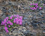 Olympic National Park, WA: Cliff dwarf-primrose or smooth douglasia (Douglasia laevigata) blooming on a talus slope.