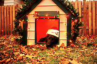 Black Labrador dog wearing a Santa hat and lounging in a decorated dog house.
