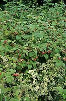 Wilde Himbeere, Himbeeren, Früchte, Rubus idaeus, Raspberry