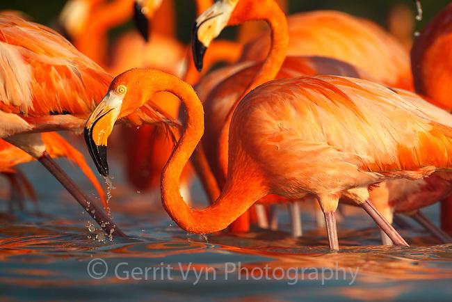 American Flamingo (Phoenicopterus ruber) foraging. Yucatan, Mexico.