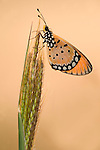 Tawny Coster Butterfly, Acraea terpsicore, Bandhavgarh National Park, orange on grass stem.India....