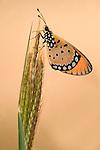 Tawny Coster Butterfly, Acraea terpsicore, Bandhavgarh National Park, orange on grass stem.India....