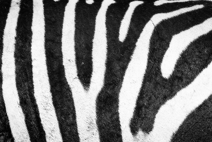 An abstract view of stripes of a zebra. Like fingerprints, each zebra's stripes are unique.