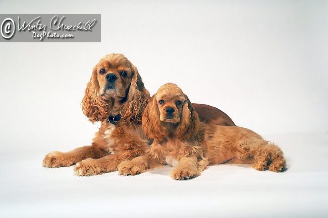 cocker spaniel Shopping cart has 3 Tabs:<br /> <br /> 1) Rights-Managed downloads for Commercial Use<br /> <br /> 2) Print sizes from wallet to 20x30<br /> <br /> 3) Merchandise items like T-shirts and refrigerator magnets
