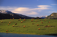 PLAINS BISON. Spring herd..Lamar Valley. Yellowstone National Park..(Bison bison). USA.