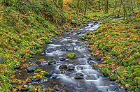 ORCG_D187 - USA, Oregon, Columbia River Gorge National Scenic Area, Gorton Creek and autumn foliage with fallen leaves of bigleaf maple and moss covered rocks and trees.