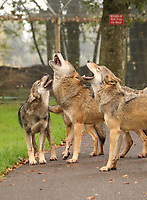 """BNPS.co.uk (01202 558833)<br /> Pic: IanTurner/BNPS<br /> <br /> Howl-oween...<br /> <br /> A weekly fire alarm test is prompting a howling frenzy among Longleat's pack of European wolves. <br /><br />The 14-strong pack react to the siren which sounds across the Wiltshire estate as if it were another wolf pack threatening their territory.<br /><br />Now the noise from the siren is being matched by the wolves, which are the same species as once roamed wild in the UK.<br /><br />""""We think the wolves are reacting to the alarm as if it were another pack investigating their territory,"""" said Longleat keeper Eloise Kilbane.<br /><br />""""The most effective way to advertise their presence and to demonstrate how powerful they are is to all join together in a mass howl-in. <br /><br />""""This not only serves to warn off any other potential wolves from moving in to their area but it also helps to reaffirm the unity and structure of the pack itself as they all work together to safeguard their territory<br /><br />""""It also guarantees everyone in the safari park cannot fail to be fully aware whenever the siren does go off!"""" she added."""
