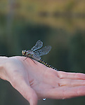 A dragon fly on a paddler's hand.