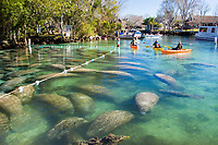 Florida Manatee (Trichechus manatus latirostris) Congregate en masse in the Three Sisters sanctuary located in Crystal River,Florida. A subspecies of the West Indian Manatee.