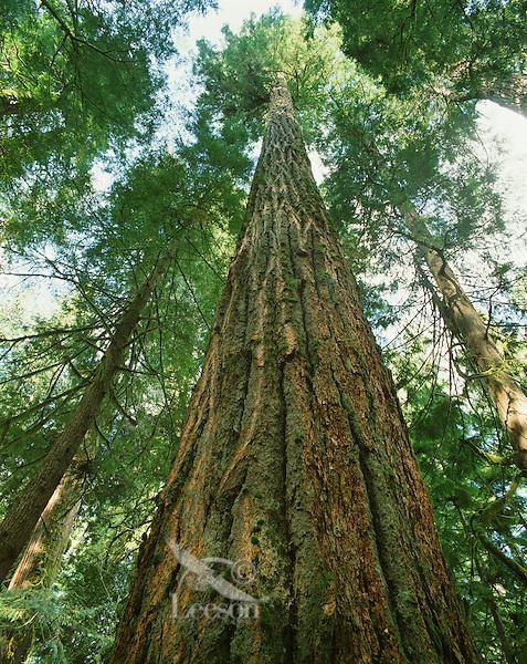Douglas Fir Tree (Pseudotsuga taxifolia).   Western Washington.
