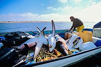 Gill net fishermen bring pelagic thresher sharks, Alopias pelagicus, catch to shore, Huatabampo, Mexico, Sea of Cortez, Pacific Ocean