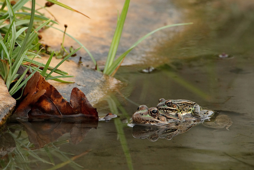 Although the primary breeding season is in March and early April, southern leopard frogs have been known to breed in every month of the year.  The chuckling calls of a chorus of these frogs make it sound as if the whole marsh is laughing.