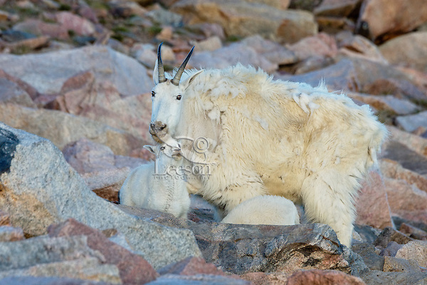 "Mountain Goat (Oreamnos americanus) nanny and kid among granite boulders in the Beartooth Mountains near the Wyoming/Montana border.  The nanny is shedding her heavy winter coat of fur to a new ""summer weight"" fur coat which will grow long again for the next winter."
