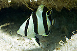 Chaetodon striatus, Banded butterflyfish, juvenile, Bonaire