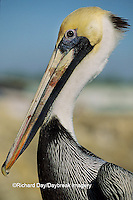00672-00318 Brown Pelican (Pelecanus occidentalis) head shot    FL