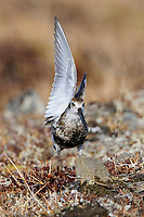 "Adult Rock Sandpiper (Calidris ptilocnemis) in breeding plumage ""wing waving"" to attract the attention of its mate. Seward Peninsula, Alaska. June."