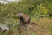 Nutria along Binford Lake in Gresham Oregon