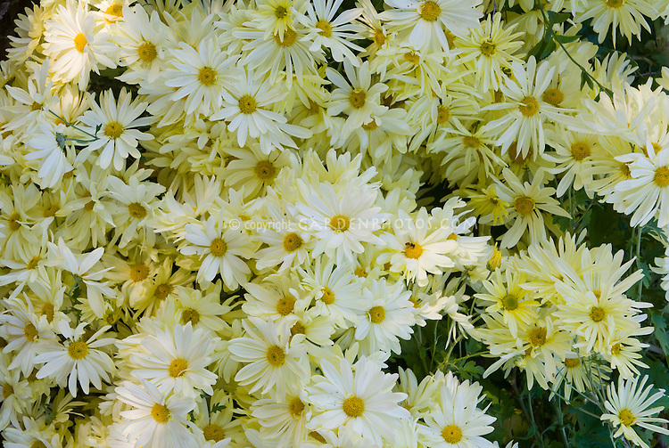 Chrysanthemum 'Gethsemane Moonlight' in yellow primrose color