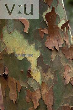 Bark of sycamore ,Platanus occidnetalis, Raven Rock State Park, North Carolina