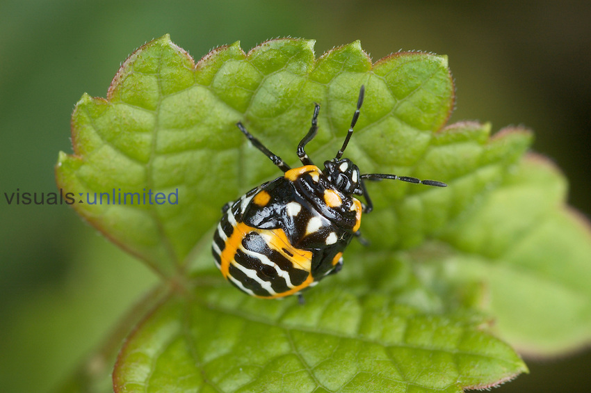 The Harlequin Bug ,Murgantia, is an important insect pest of cabbage and related crops in the southern half of the United States. It feeds on a very wide range of plants by sucking their juices.