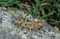 Nordische Gebirgsschrecke, Paarung, Kopula, Kopulation, Melanoplus frigidus, Bohemanella frigida, Nordic Mountain Grasshopper, High Mountain Grasshopper, copulation, pairing
