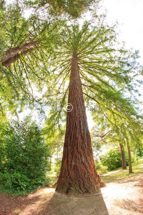 Sequoia sempervirens à l'Arboretum des Barres ou Arbofolia (France).