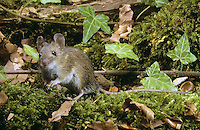 Waldmaus, Wald-Maus, Maus, Apodemus sylvaticus, wood mouse, long-tailed field mouse