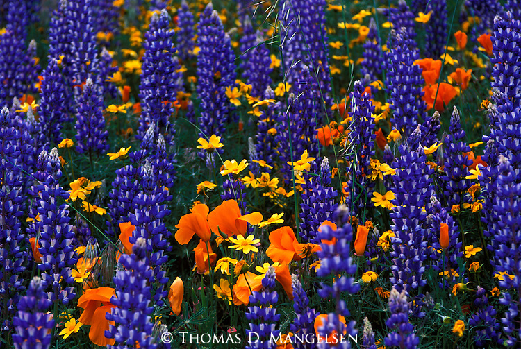 Lupine and poppies grow in the Tehachapi Mountains in California.