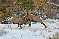 Rocky Mountain bighorn sheep (Ovis canadensis canadensis) rams fighting--head butting during fall rut.  Western U.S., late fall.  Sometimes the rams will miss hitting horns squarely as in this situation.