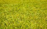 Field with growing green barley crop in summer, Shottisham, Suffolk, England, UK